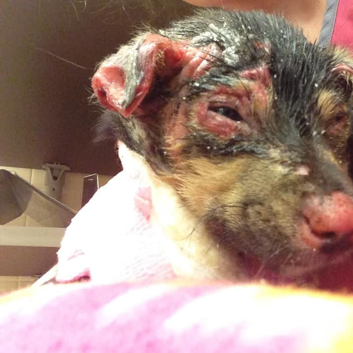 Burnt Newport puppy, Hope, has injuries 'more severe than anticipated'