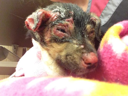 An updated picture of Hope, the dog rescued in Newport after sustaining severe chemical burns.