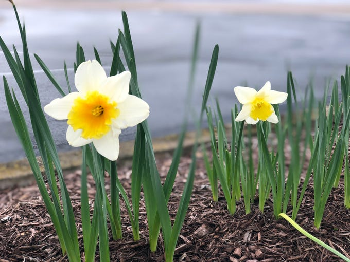 "Symbolizing rebirth and new beginnings, the daffodil is virtually synonymous with spring. Though their botanic name is narcissus, daffodils are sometimes called jonquils, and in England, because of their long association with Lent, they're known as the ""Lent Lily."""