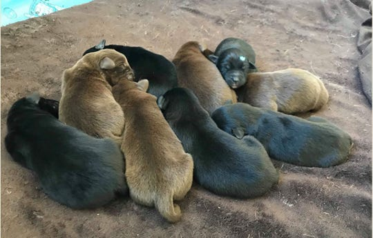 Nine newborn puppies huddle together after Marshfield Police rescued eight of them from a garbage can. Police said one puppy was born late and Robert M. Wild, 56, did not put that puppy in the garbage can.