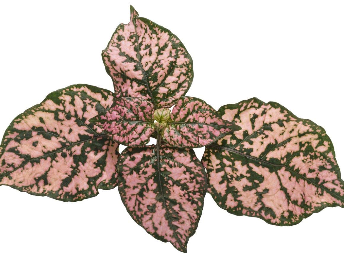 Hippo Pink Polka Dot plants will grow in sun or shade.
