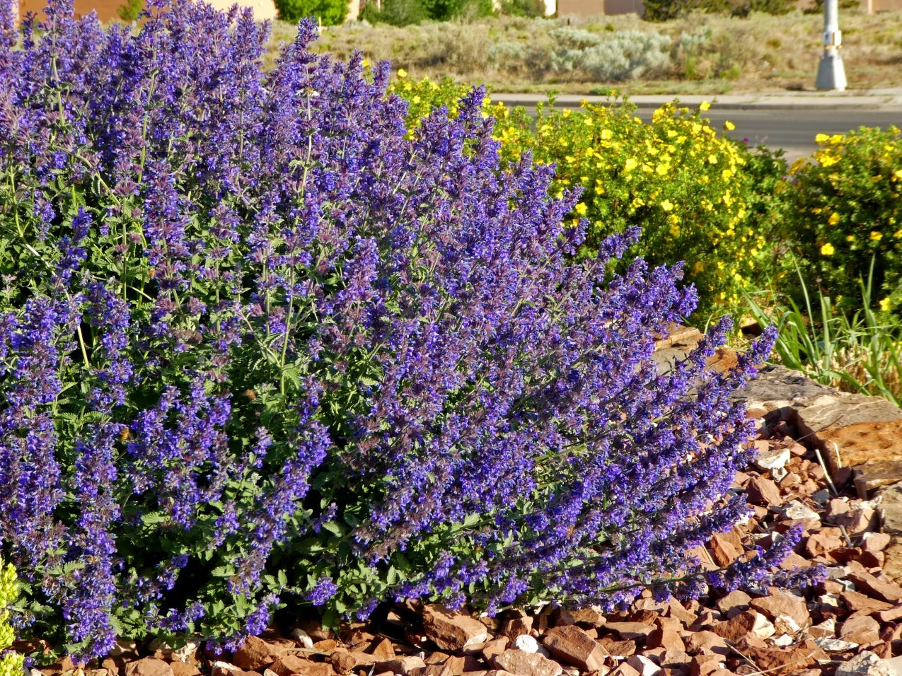 Nepeta Walkers Deep Blue Mint is well behaved in the garden, won't reseed and attracts hummingbirds.