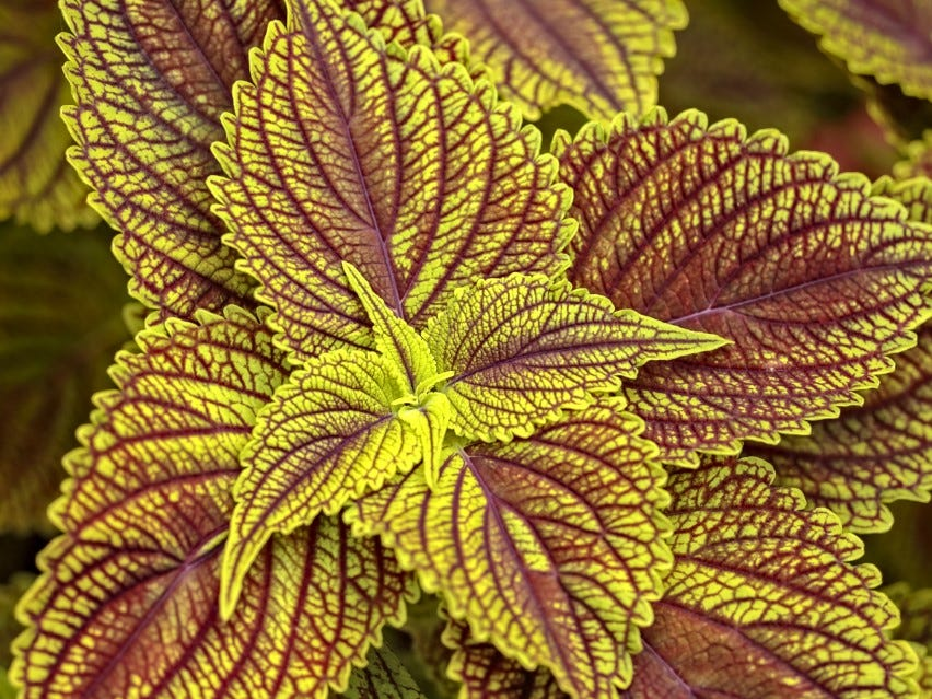 Colorblaze Golden Dreams Coleus is a robust annual that grows well in sun and shade.