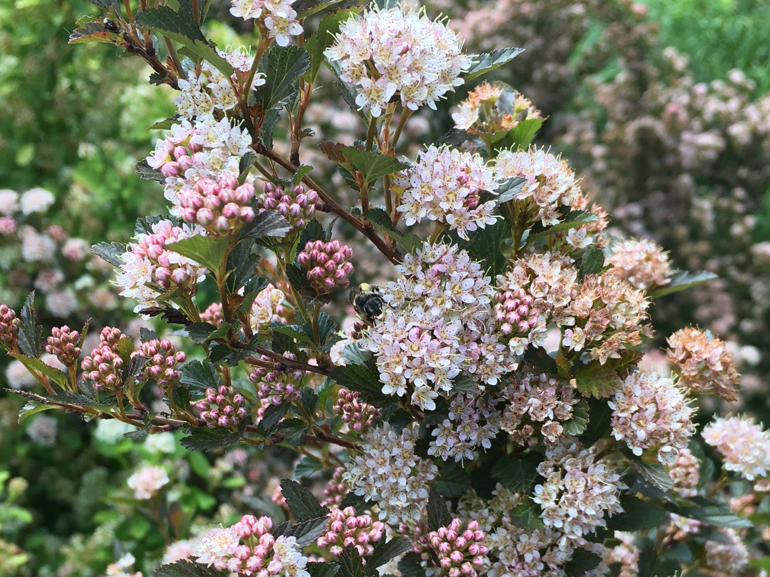 Sweet Cherry Tree Ninebark is a compact shrub with deep rosy pink buds that open to pale blush pink blooms.