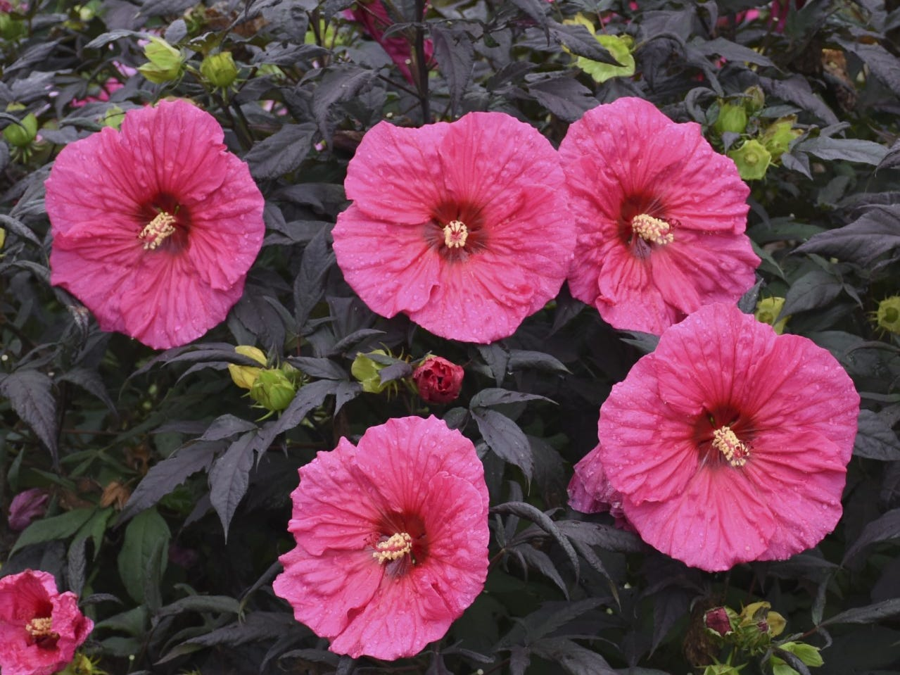 Hibiscus Evening Rose, a new plant that will be available in 2020, is lovely for sharing on social media.