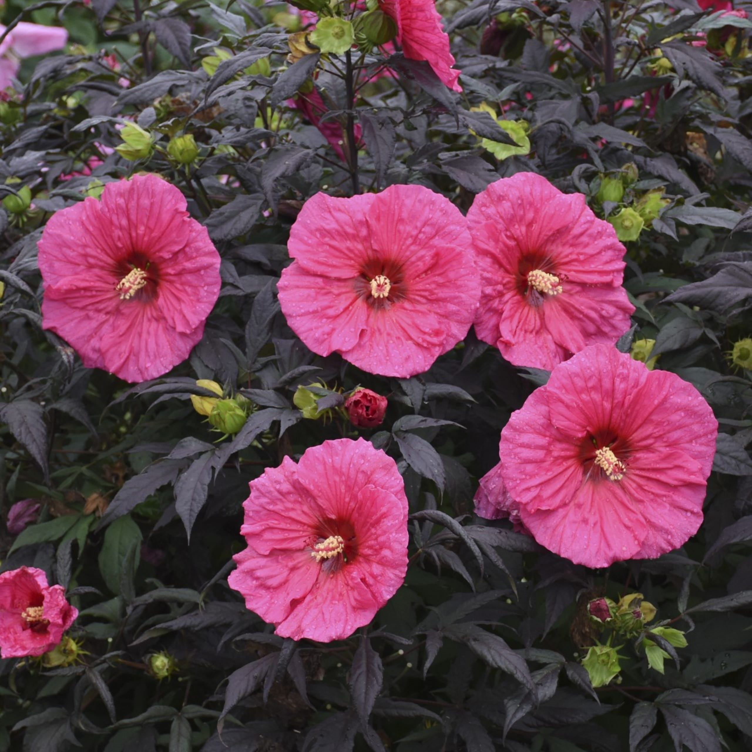 d778ebbb6 Hibiscus Evening Rose, a new plant that will be available in 2020, is lovely