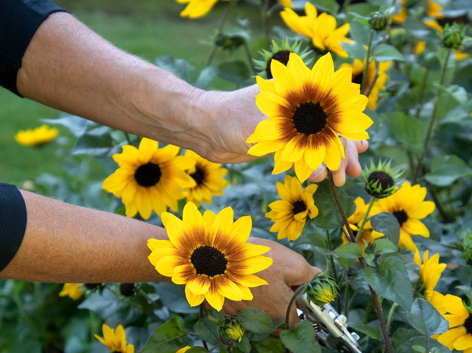 Sunbelievable Brown Eyed Girl is an annual sunflower that doesn't produce seeds but instead produces lots of flowers.