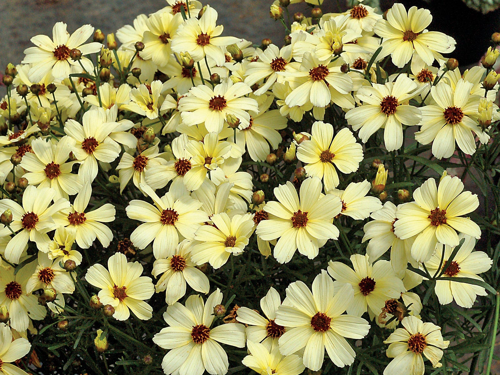 Buttermilk Coreopsis blooms from mid-spring to late summer and attracts butterflies.