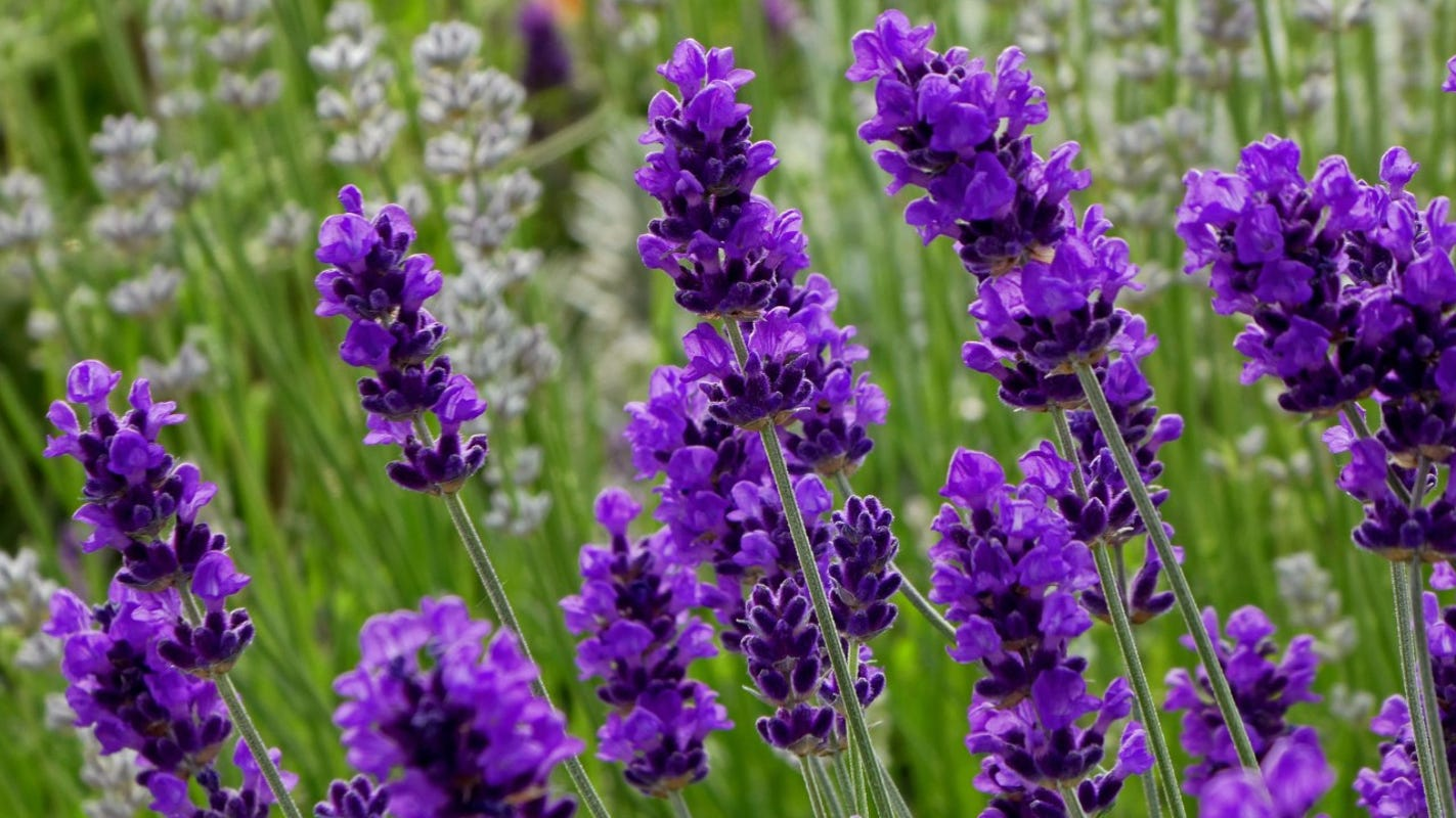 Grow Lavender For Baking