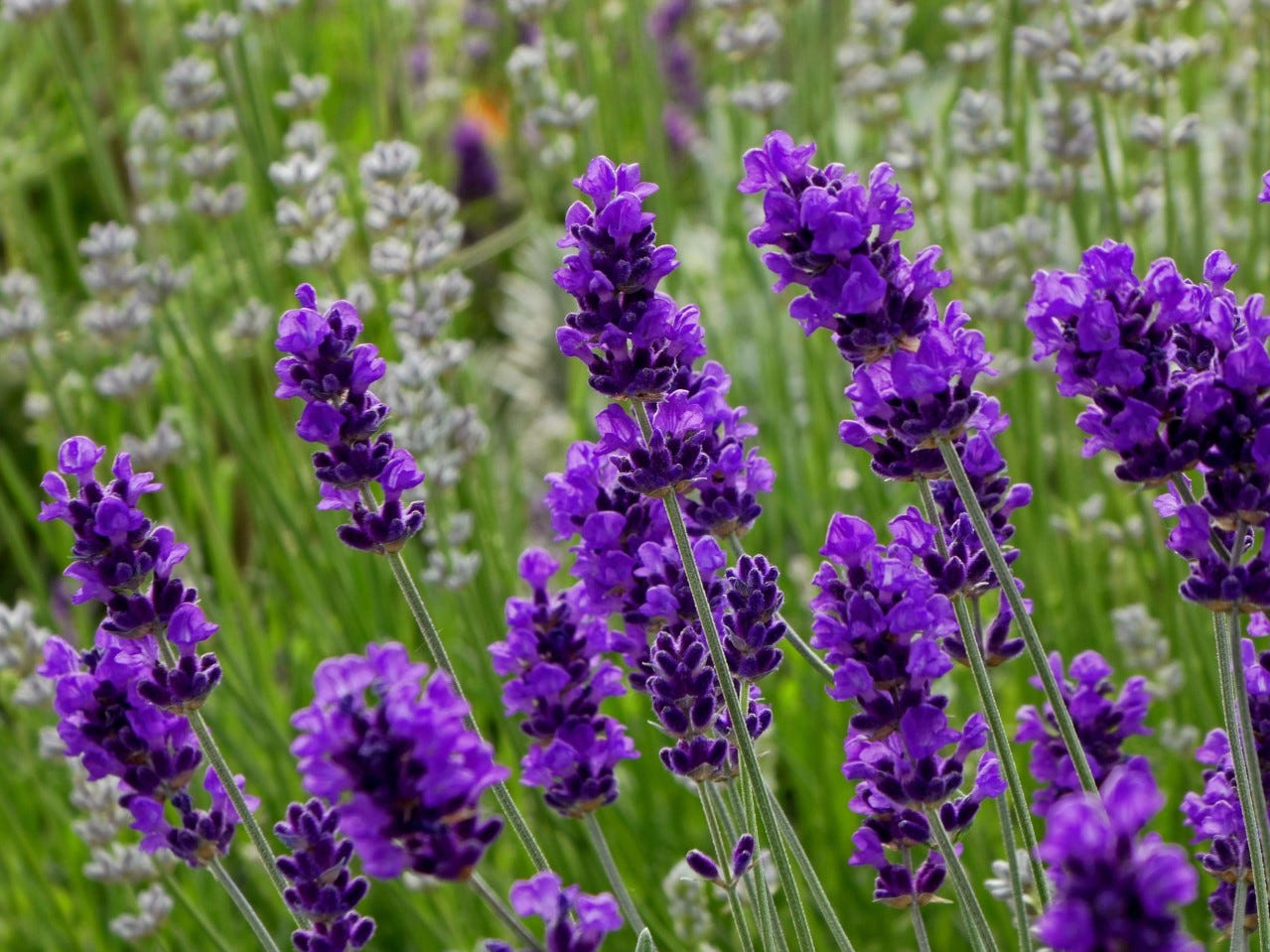 Lavender Angustifolia After Midnight Flowerkisser is the 2019 Plant of the Year for High Country Gardens.