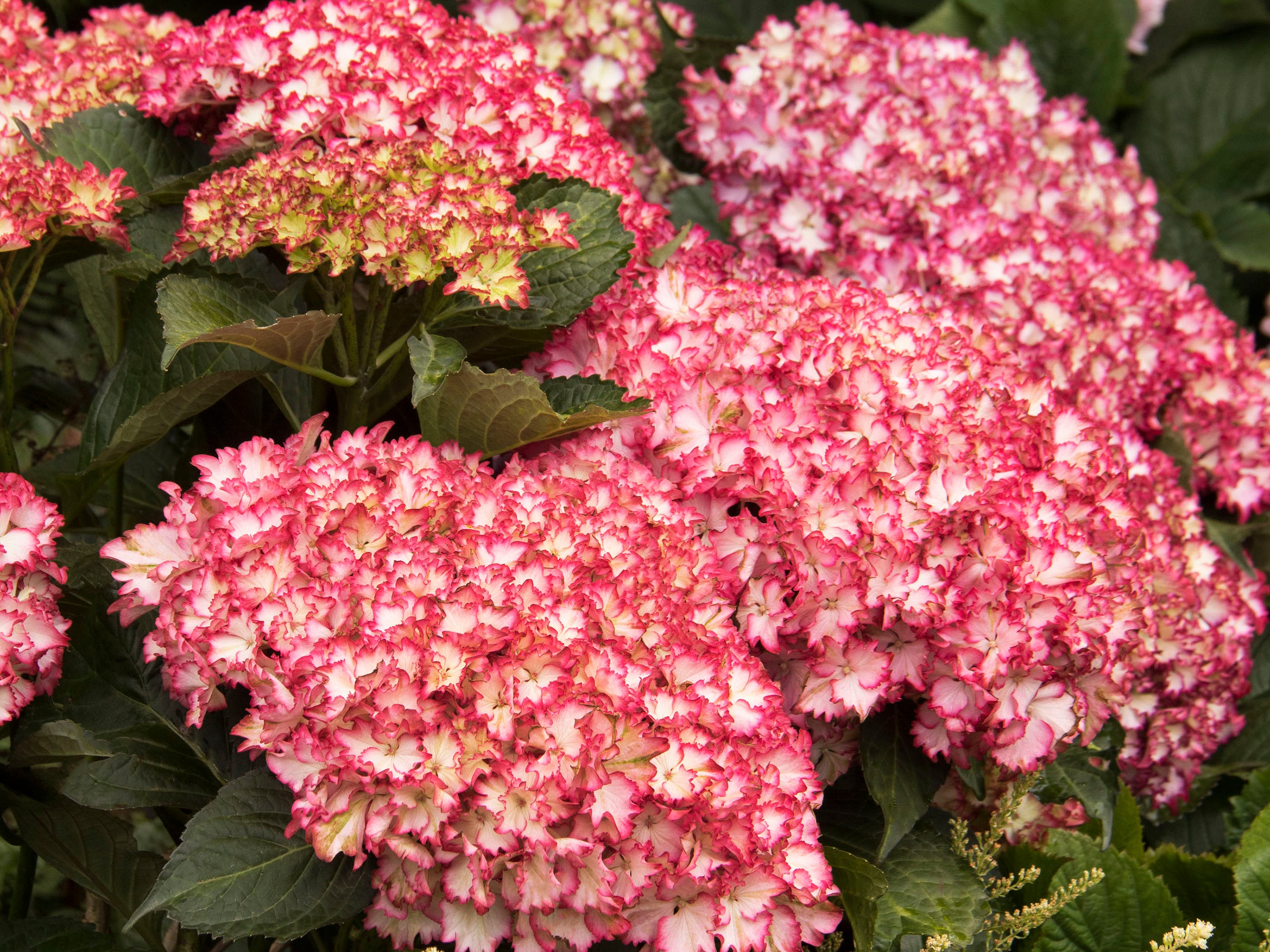 Fire Island hydrangea, part of the Seaside Serenade Collection, has frilly white petals edged in red.