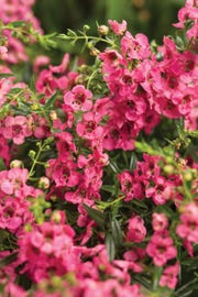 Angelface Cascade Snapdragon is heat- and drought-tolerant and easy to care for.
