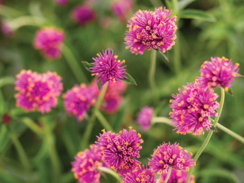 Truffula Pink Globe Amaranth is an ideal cut-flower with long vase life.