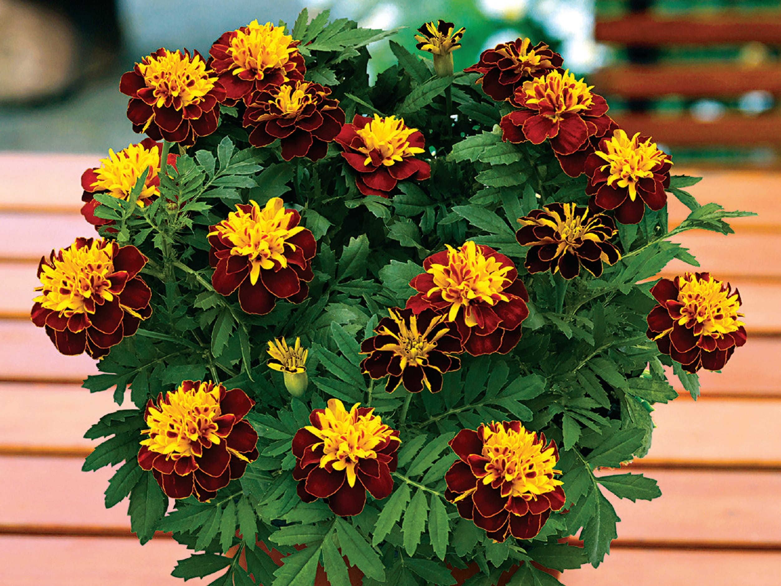 Super Hero Spry Marigoldblooms through summer and into fall and is also good for hummingbirds.