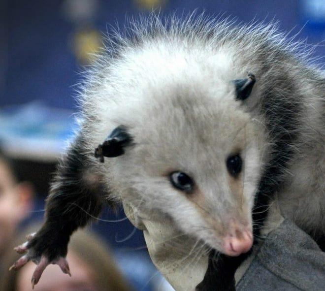 An opossum