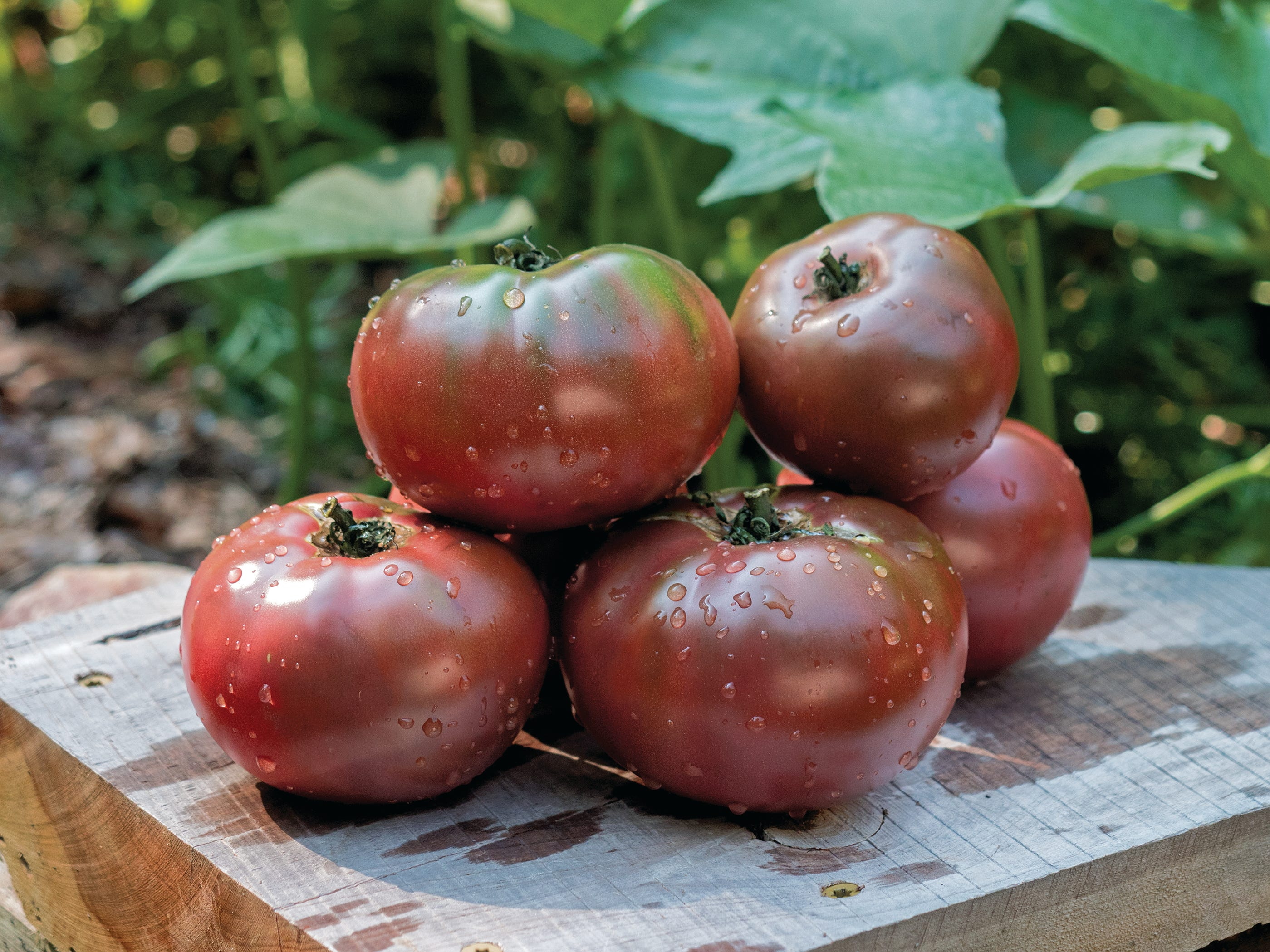 Tomato Purple Boy is a robust, heavy-yielding plant with fruit that matures in 80 days.