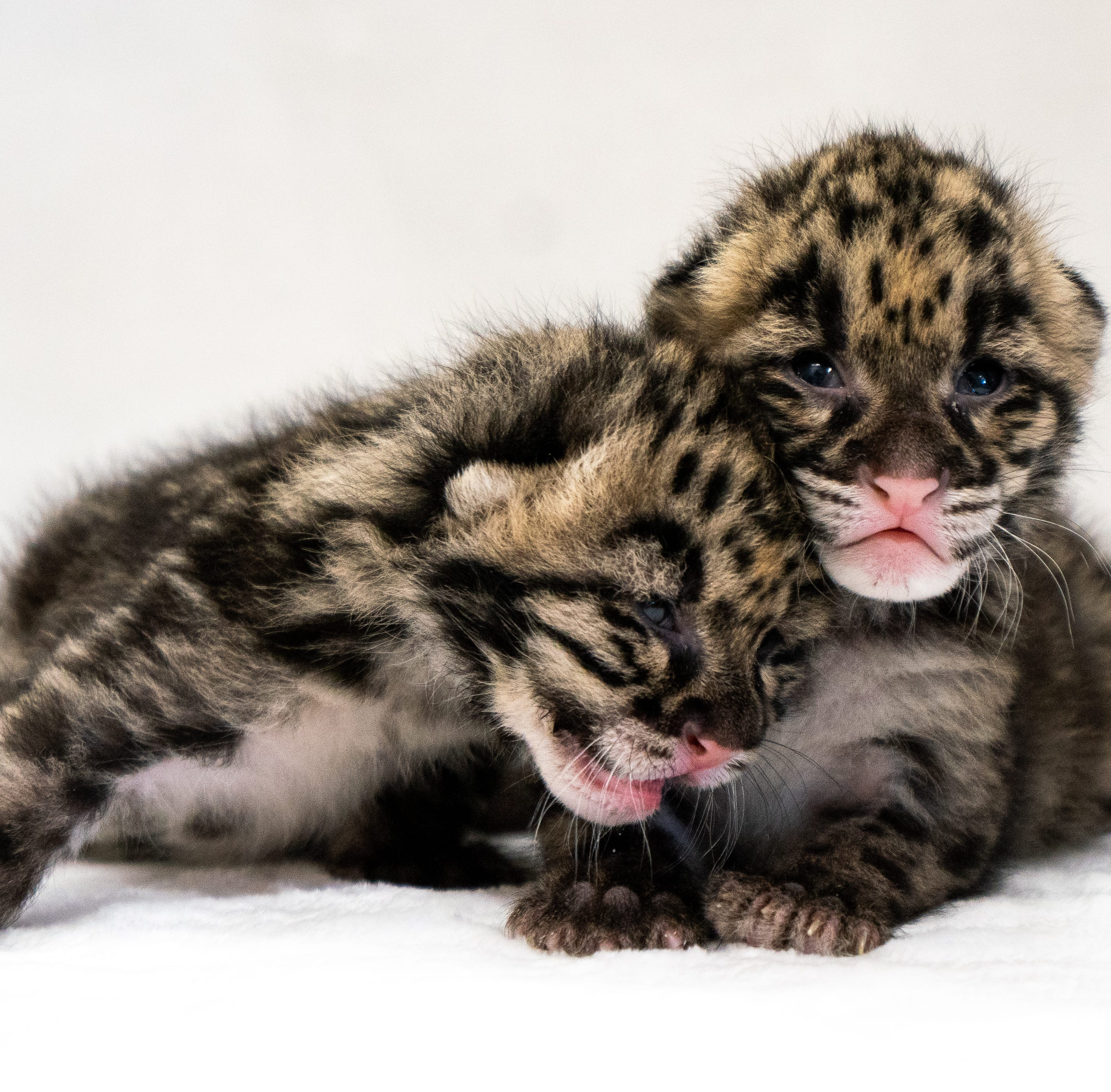 Meet Jean and Janet. They're the newly named clouded leopard kittens born at Naples Zoo