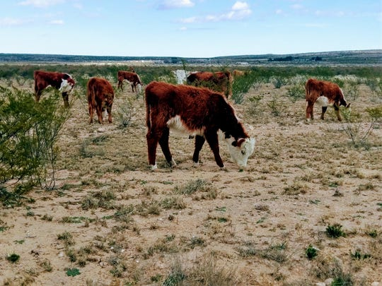 A group of yearling Hereford heifers graze at a ranch west of Carlsbad.