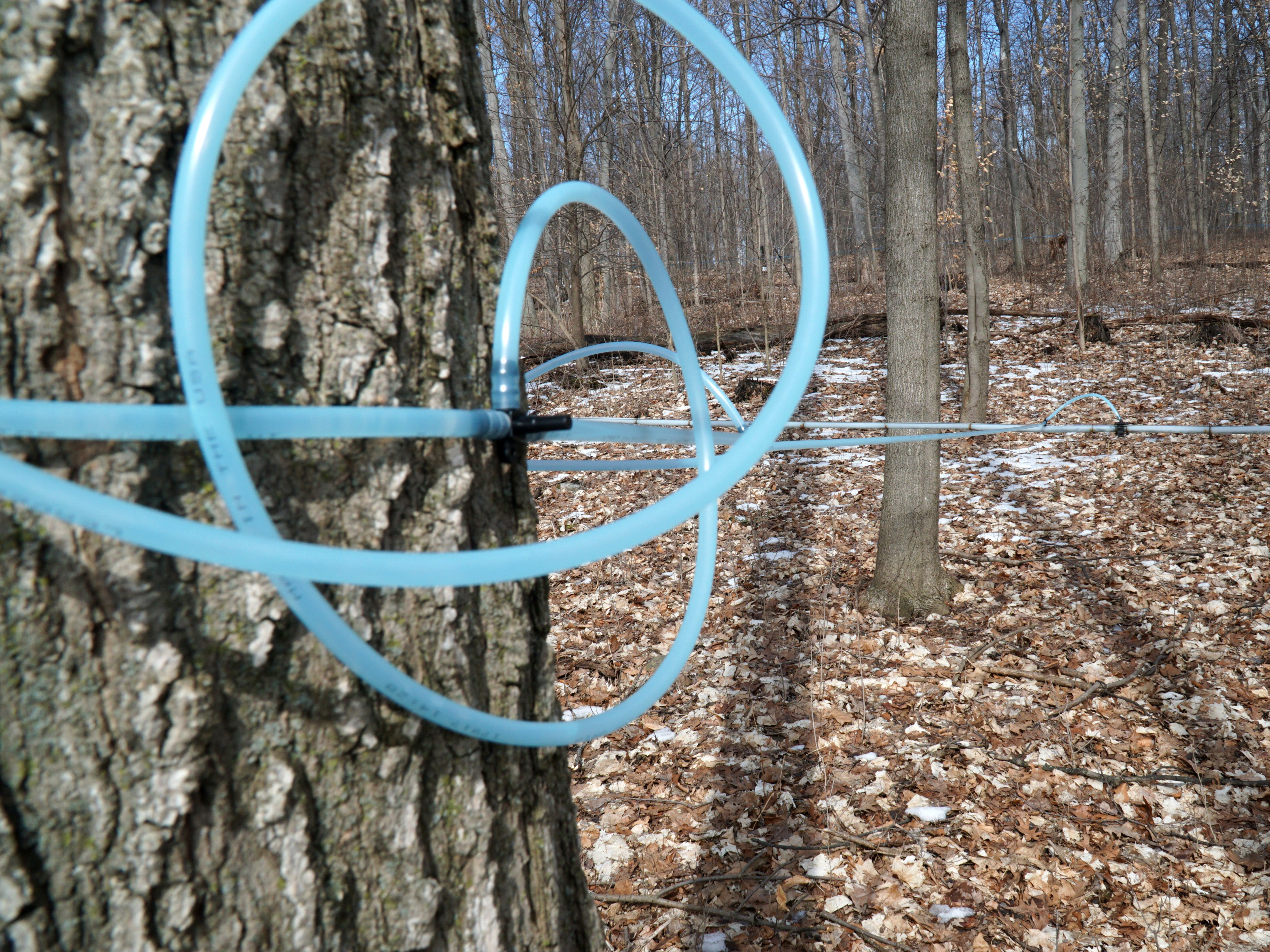 Many of Tollgate's maple trees are linked together by a series of plastic tubes that carry sap from one location to a central collection tank.