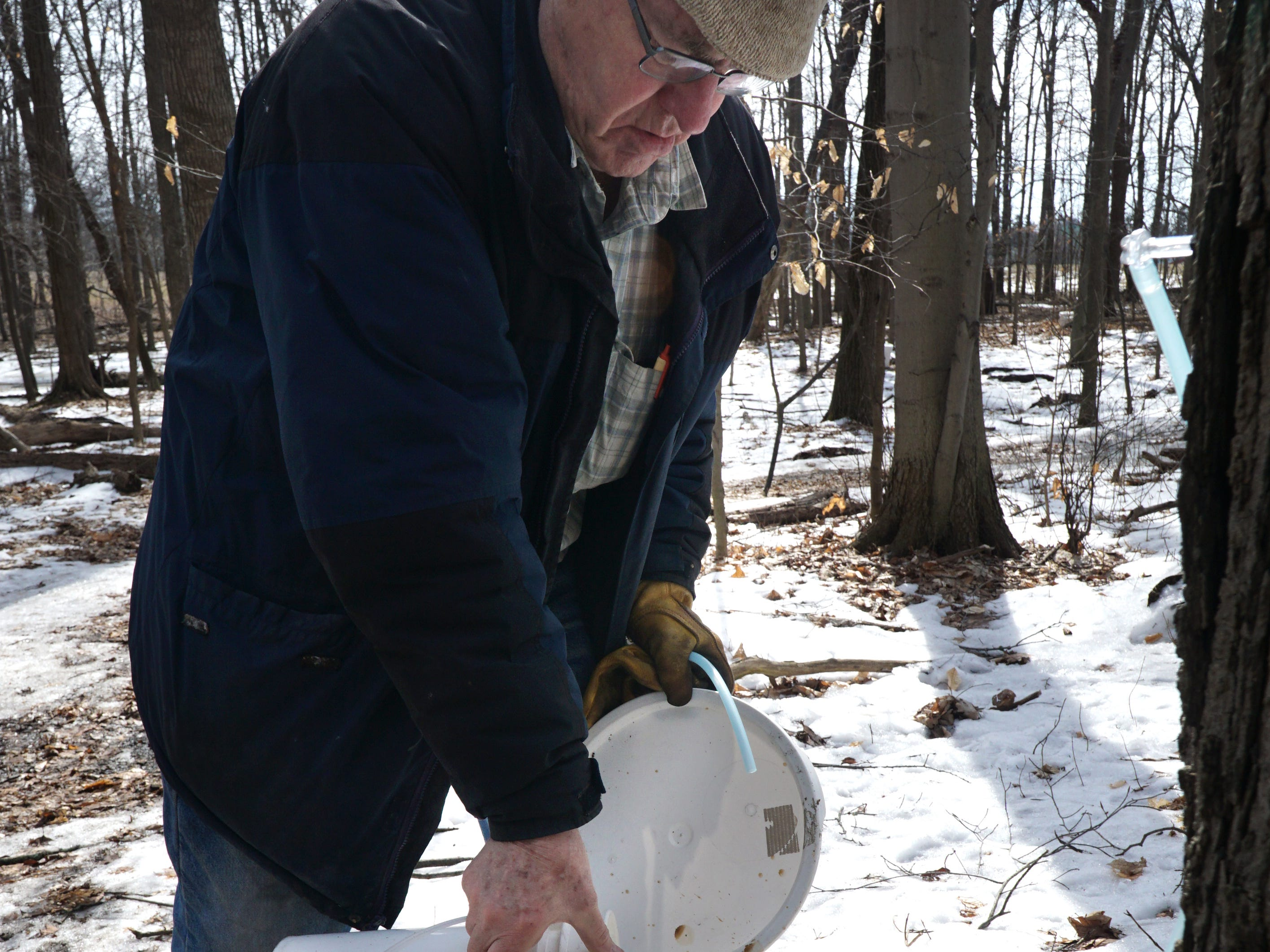 John McInnis pours sap from a collecting bucket to another for transport back to the sugar shack. When sap comes out of the trees its mostly water and its sugar content is less than 10 percent and has to have most of its water evaporated off to make syrup.