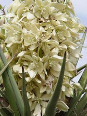 The yucca moth rolls up pollen from the flower, inserts her eggs and stuffs it into the flower ovary.