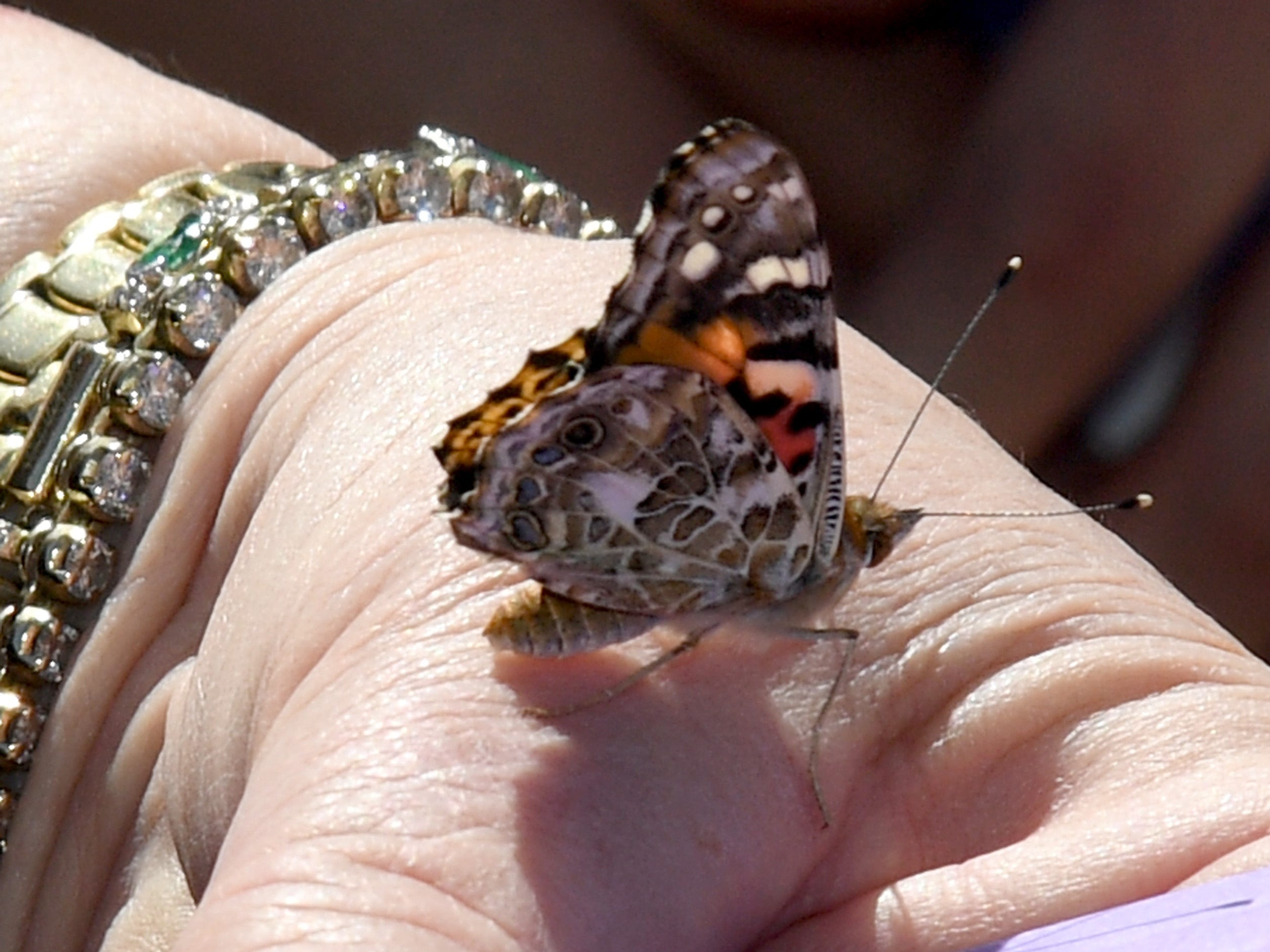 Mayor Carolyn Goodman releases a painted lady butterfly during the Nathan Adelson Hospice Route 91 Remembrance ceremony at the Las Vegas Community Healing Garden, in partnership with the City of Las Vegas and ACM Lifting Lives, on April 8, 2018 in Las Vegas, Nevada.