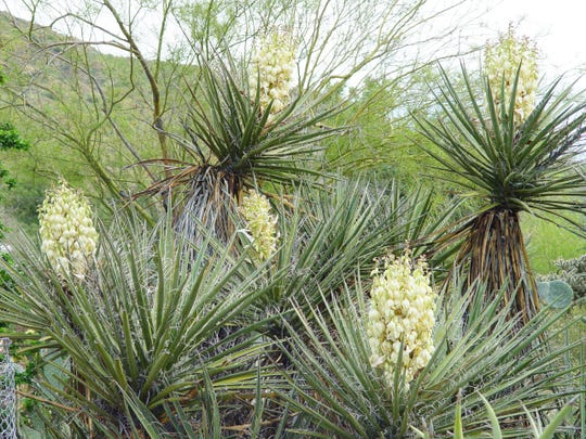 Very old Mojave yucca produces tall plants that spread into a sizable mass.