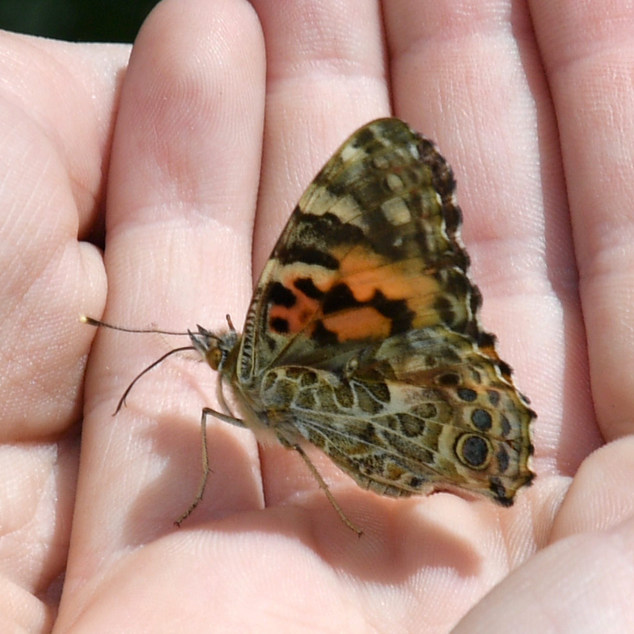After Southern California's super bloom craze, painted lady butterflies are headed north