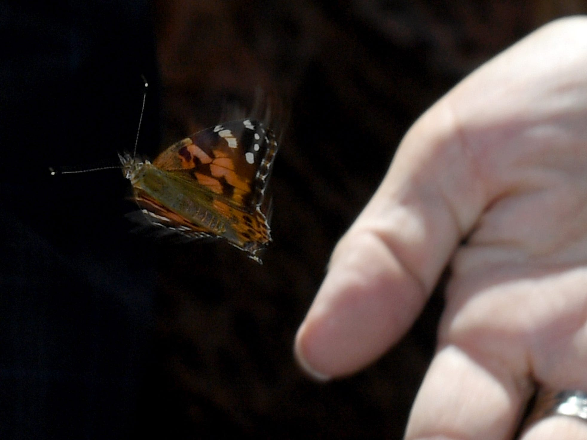 A painted lady butterfly is released during the Nathan Adelson Hospice Route 91 Remembrance ceremony at the Las Vegas Community Healing Garden, in partnership with the City of Las Vegas and ACM Lifting Lives, on April 8, 2018 in Las Vegas, Nevada.
