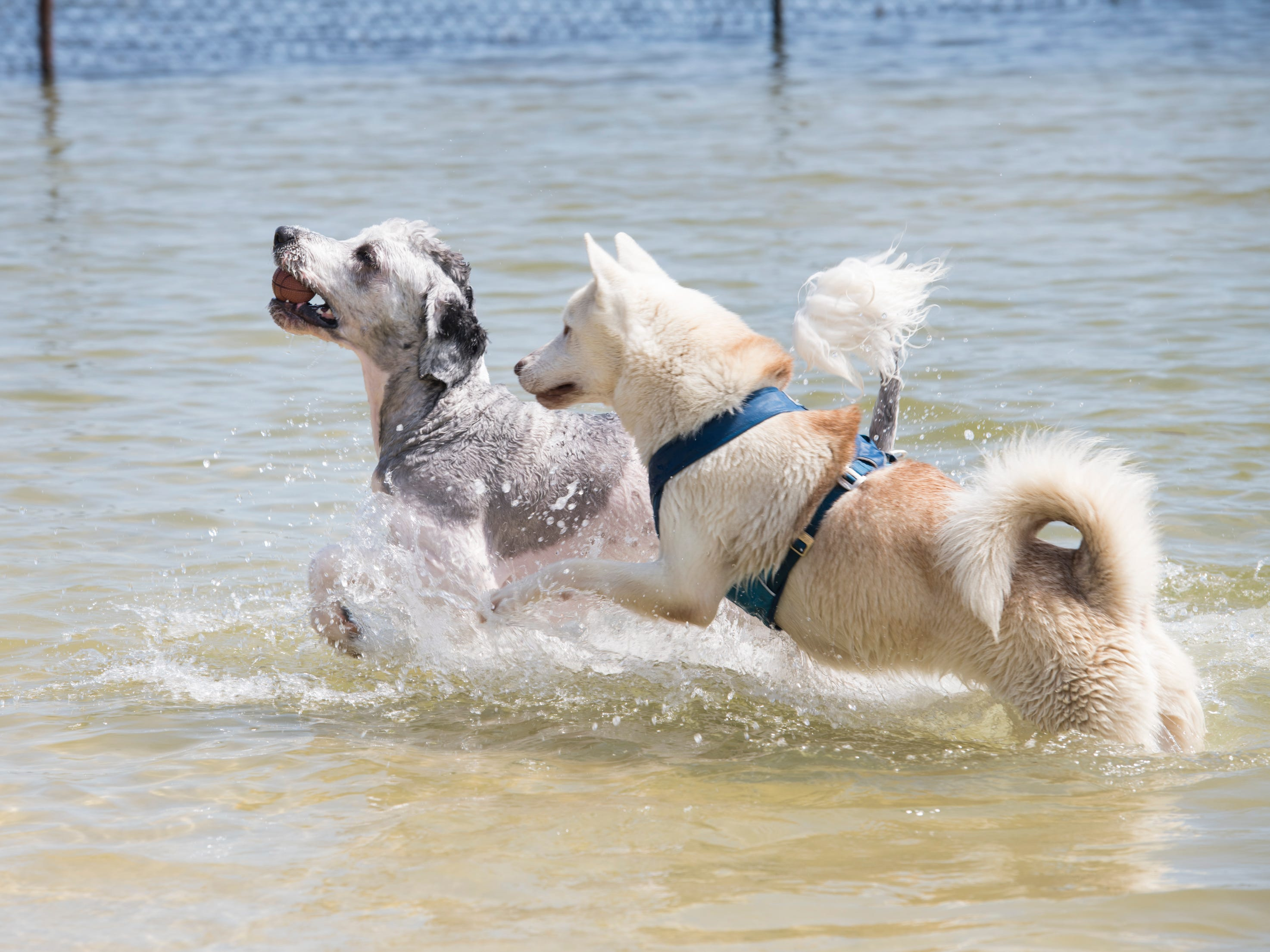 Willie Nelson, left, plays keep away from the ball with Bolt at Bayview Park's dog park in Pensacola on Tuesday, March 12, 2019.  Navarre residents hope to get a similar dog park for their city.