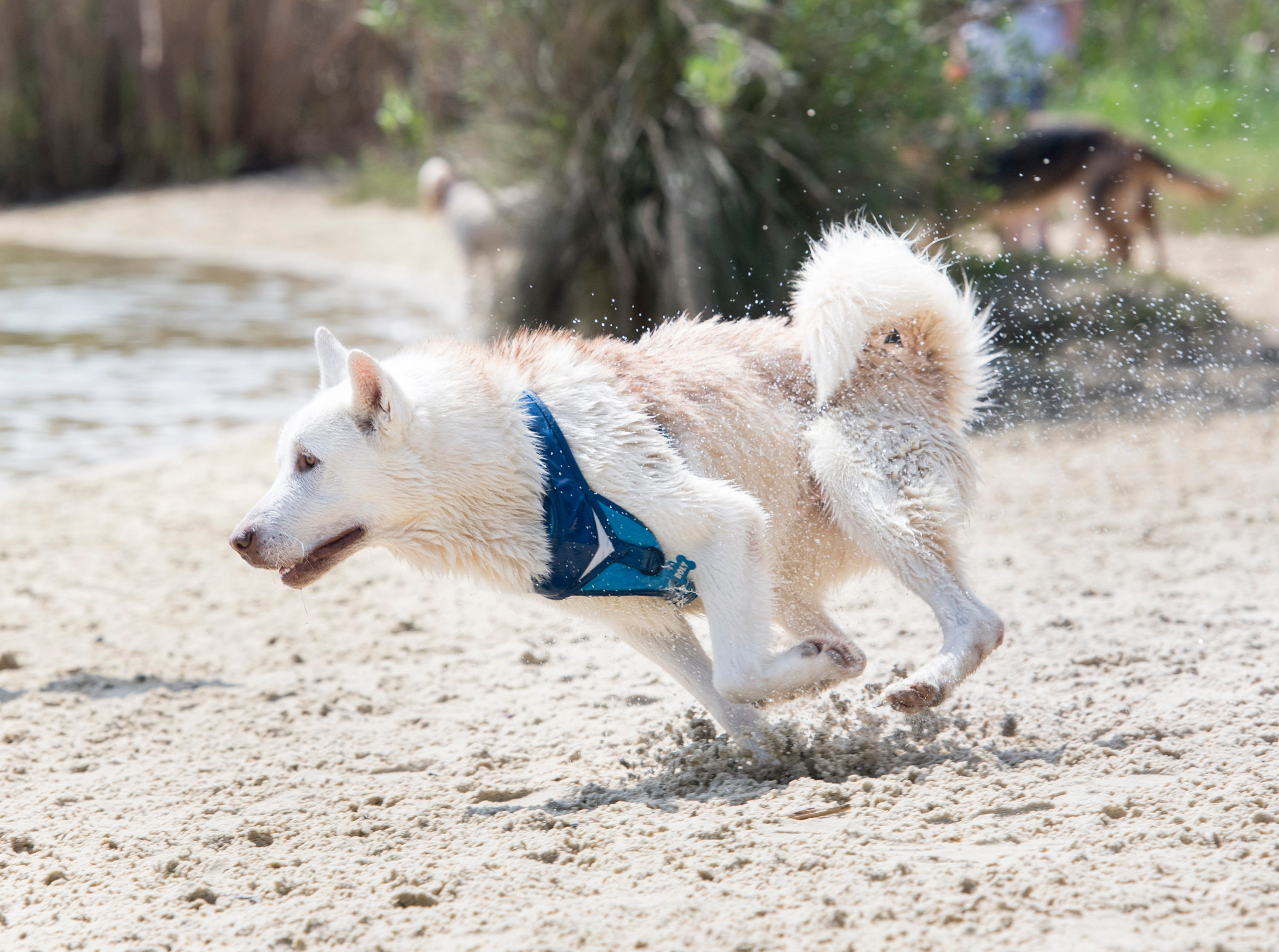 Bolt races around the sand at Bayview Park's dog park in Pensacola on Tuesday, March 12, 2019.  Navarre residents hope to get a similar dog park for their city.
