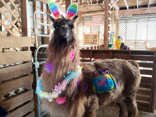 Kris Benner, an owner of the Lucky Us Farm and Conswala the llama, says that Conswala is a chill and funny llama.
