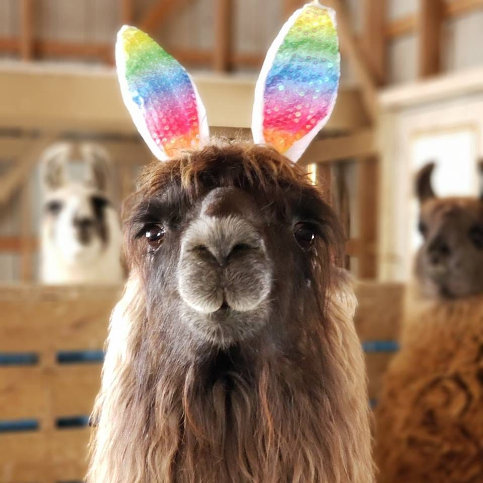 This llama is named Conswala and could be the next Cadbury Bunny