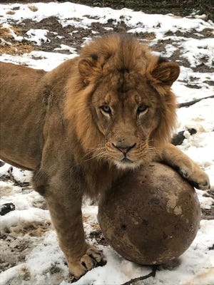 The Phoenix Zoo welcome three-and-a-half-year-old male African lion Boboo from the Columbus Zoo on Sunday. Boboo is the true brother of Kitambi, an eight-year-old male African lion, who died at the Phoenix Zoo in Aug. 2018 from a severe systemic infection.