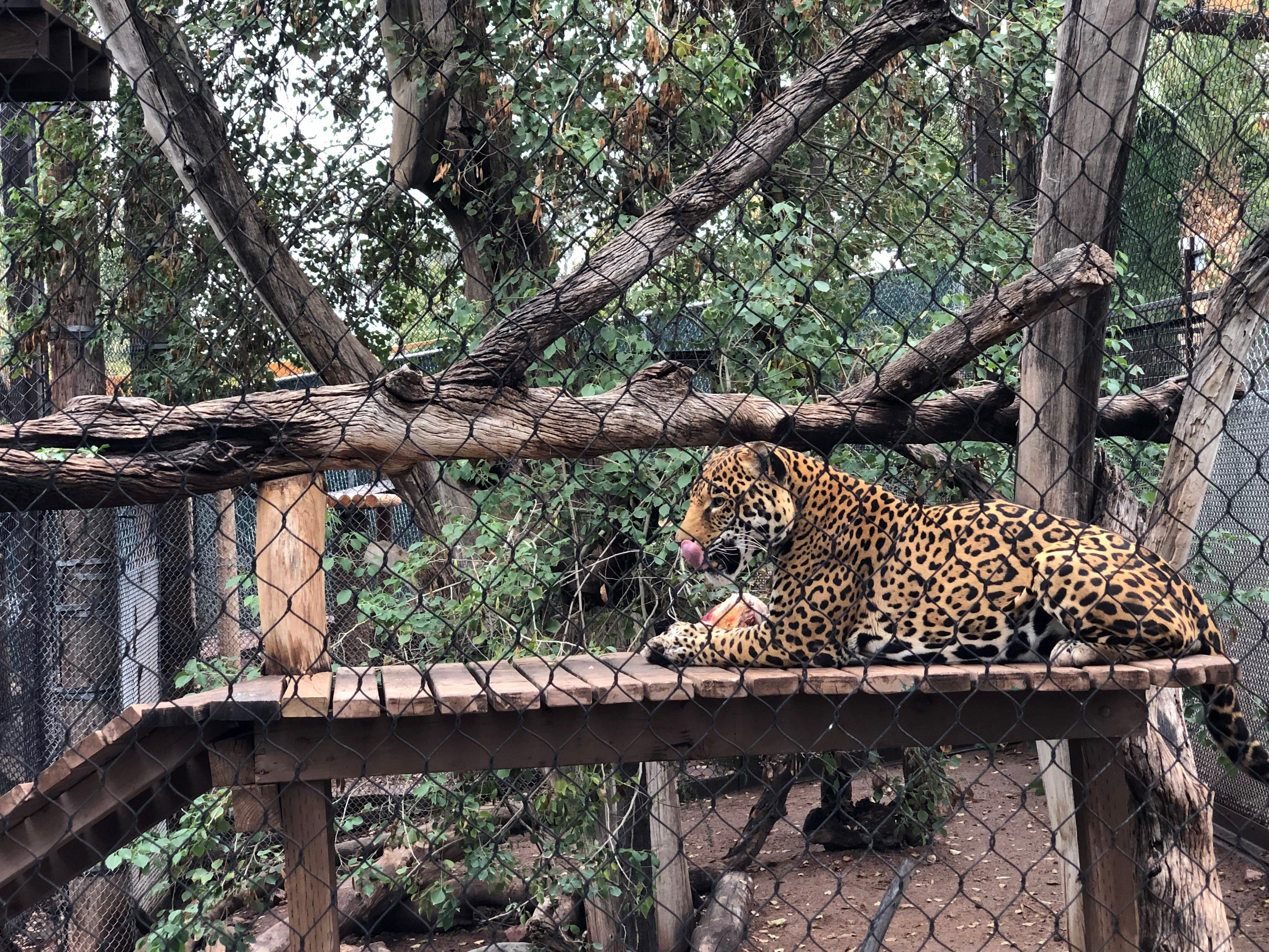 Harry, the Phoenix Zoo's male jaguar, picks at a bone in his enclosure on Tuesday, March 12.