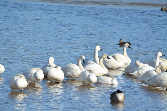 Snow geese and Tundra swans are a big draw to Middle Creek Wildlife Management in the winter and early spring.