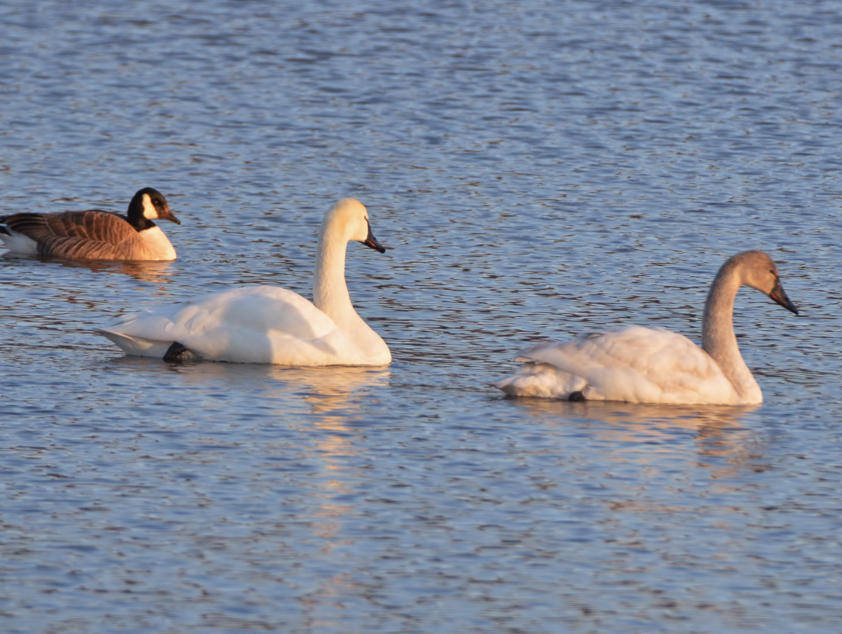 Young Tundra swans can be distinguished by their darker color.