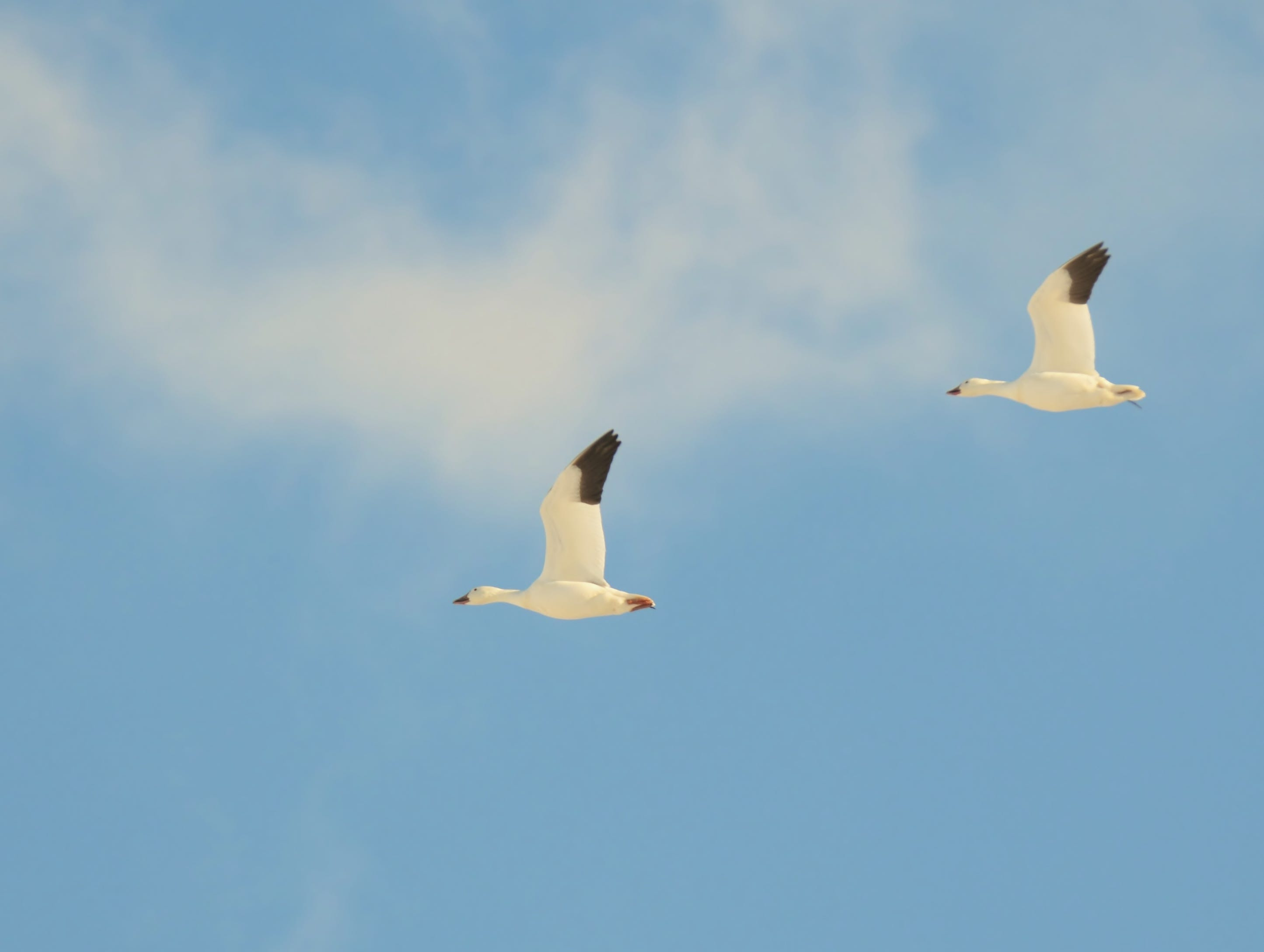 A pair of snow geese take flight above Middle Creek Wildlife Management Area.