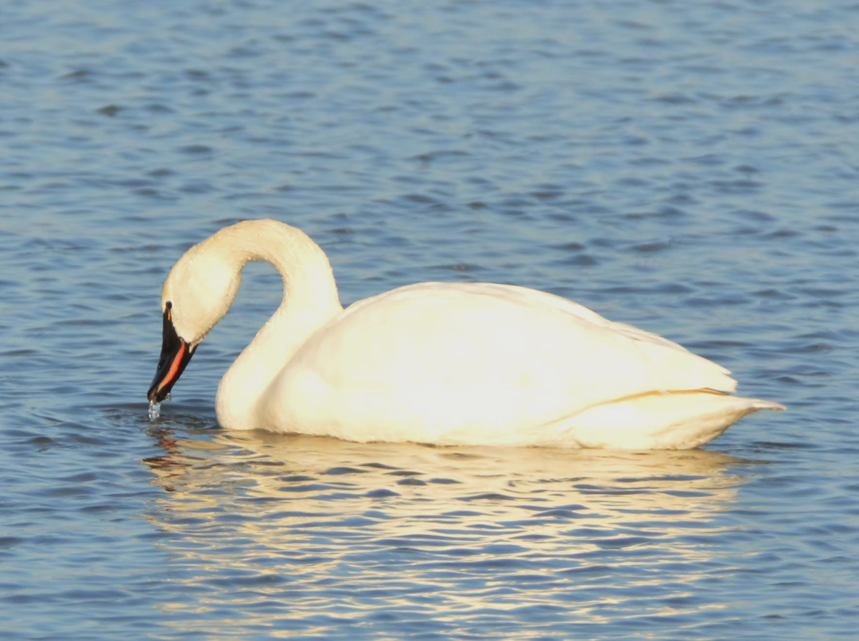A tundra swan dips its beak in the water at Middle Creek.