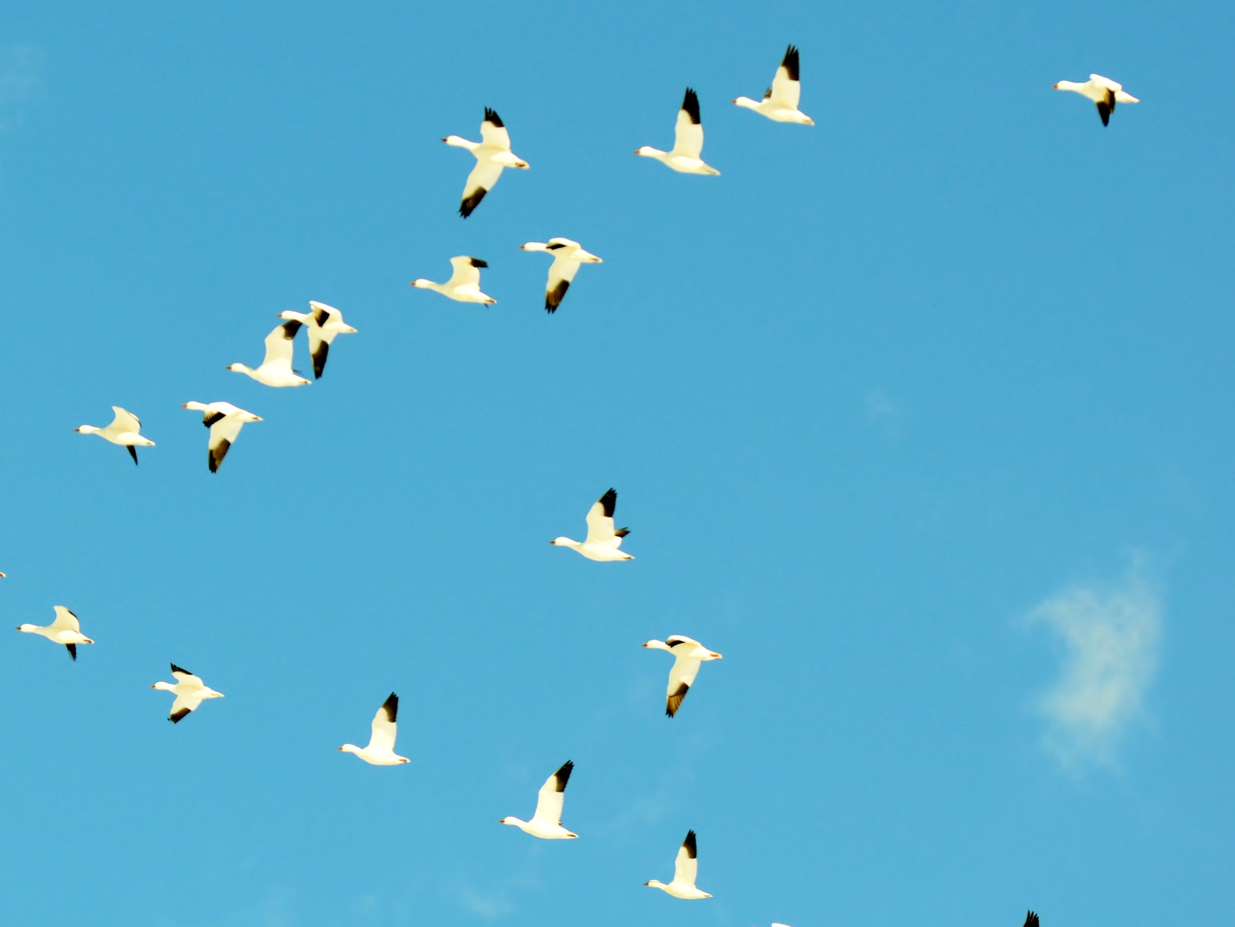 Snow geese heading out over fields of sparkling white.