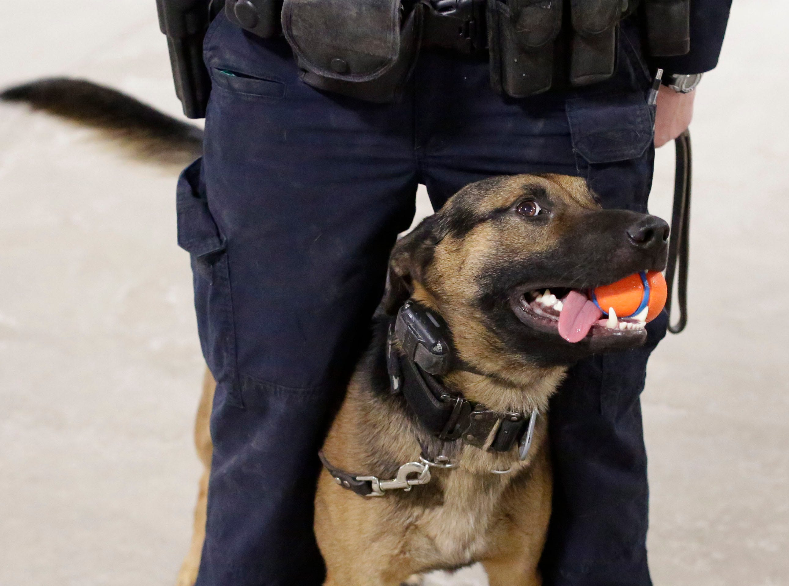 Sheboygan Police dog Max stays close to his human counterpart Officer Anna Taylor, Wednesday, March 6, 2019, in Sheboygan, Wis. According to Taylor, a ball is his reward for doing his job.