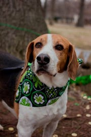 This is Rusty, an 8-year old hound available for adoption through Rescue One.  Reliable Subaru is giving away a 2019 Forester to benefit Rescue One.