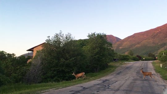 Two deer cross a road in Utah. Deer and other animals have been getting hit by vehicles at a higher rate due to daylight saving time.