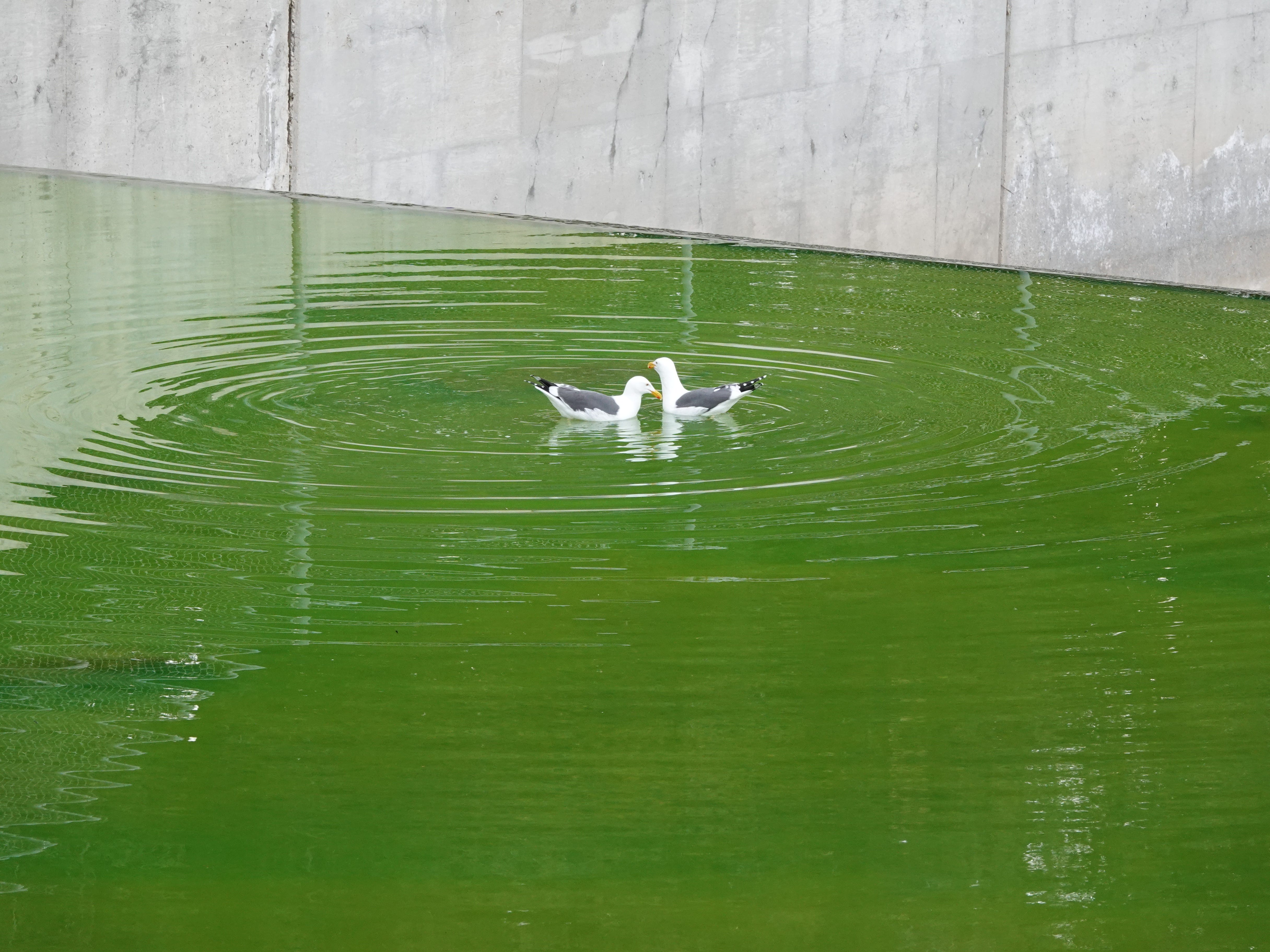 Seagulls swim in green water in the Arroyo Simi Monday afternoon. Officials later determined a substance that spilled into the waterway was not hazardous.