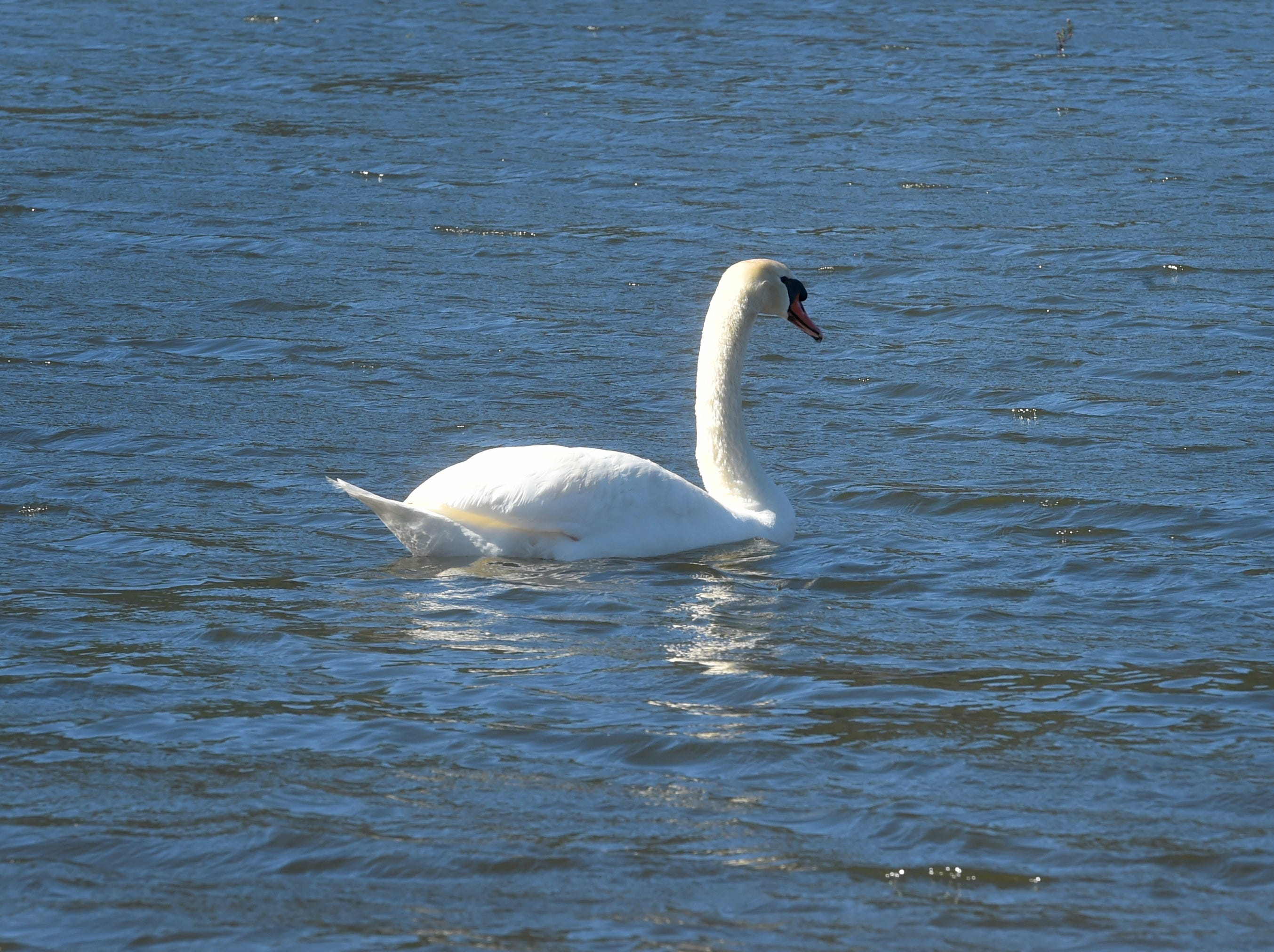 "A mute swan floats on the surface of Lake Casitas on Tuesday. This year's steady stream of storms has boosted lake levels past the ""critical drought"" threshold."