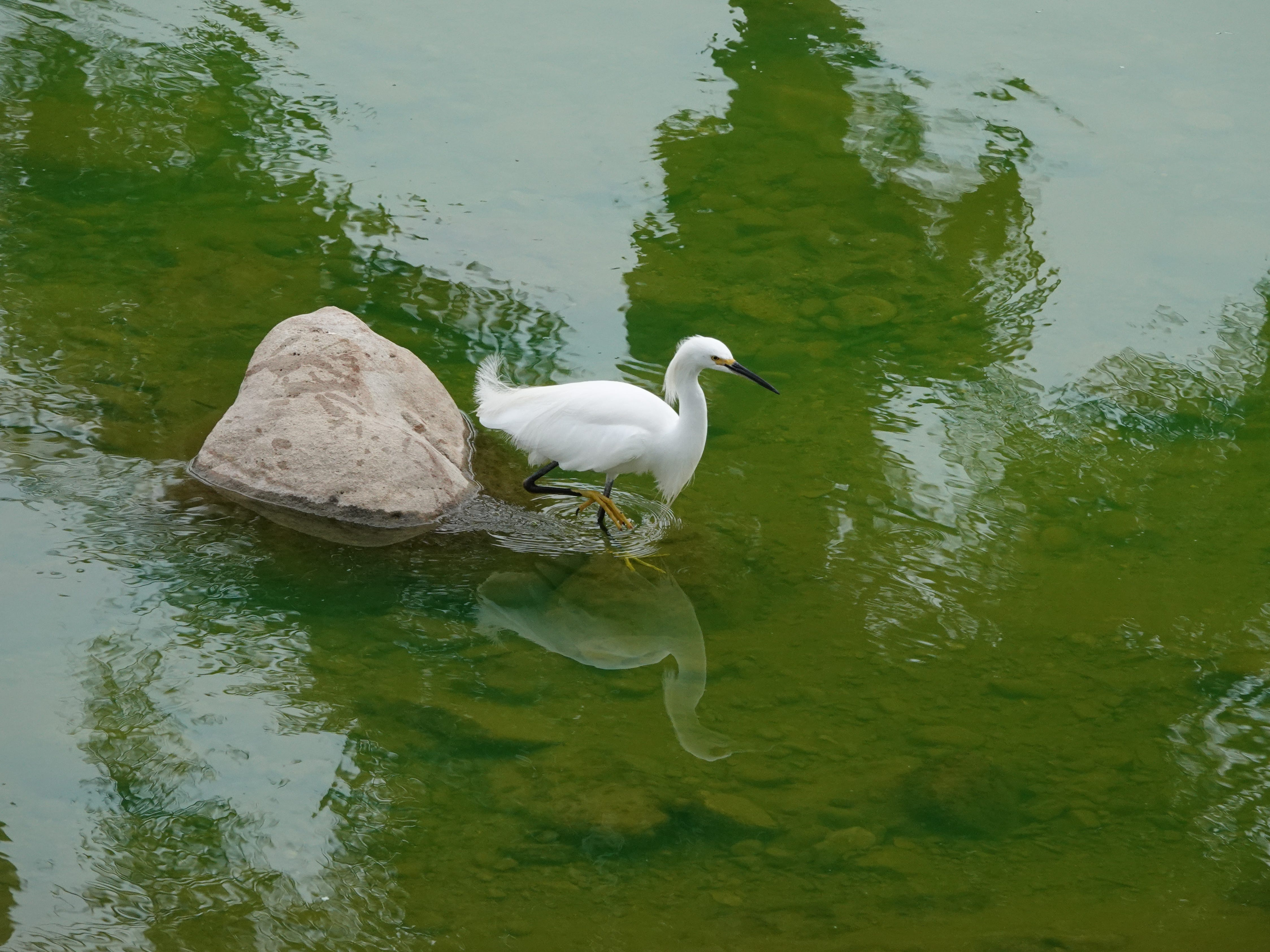 "A snowy egret steps in water described as ""lime green"" when authorities investigated a substance that spilled into the Arroyo Simi Monday afternoon."