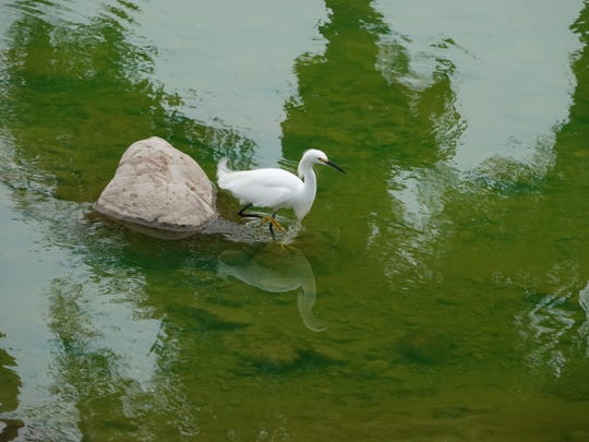 A snowy egret steps into green water as authorities investigated a substance that spilled into the Arroyo Simi on Monday afternoon in Simi Valley.