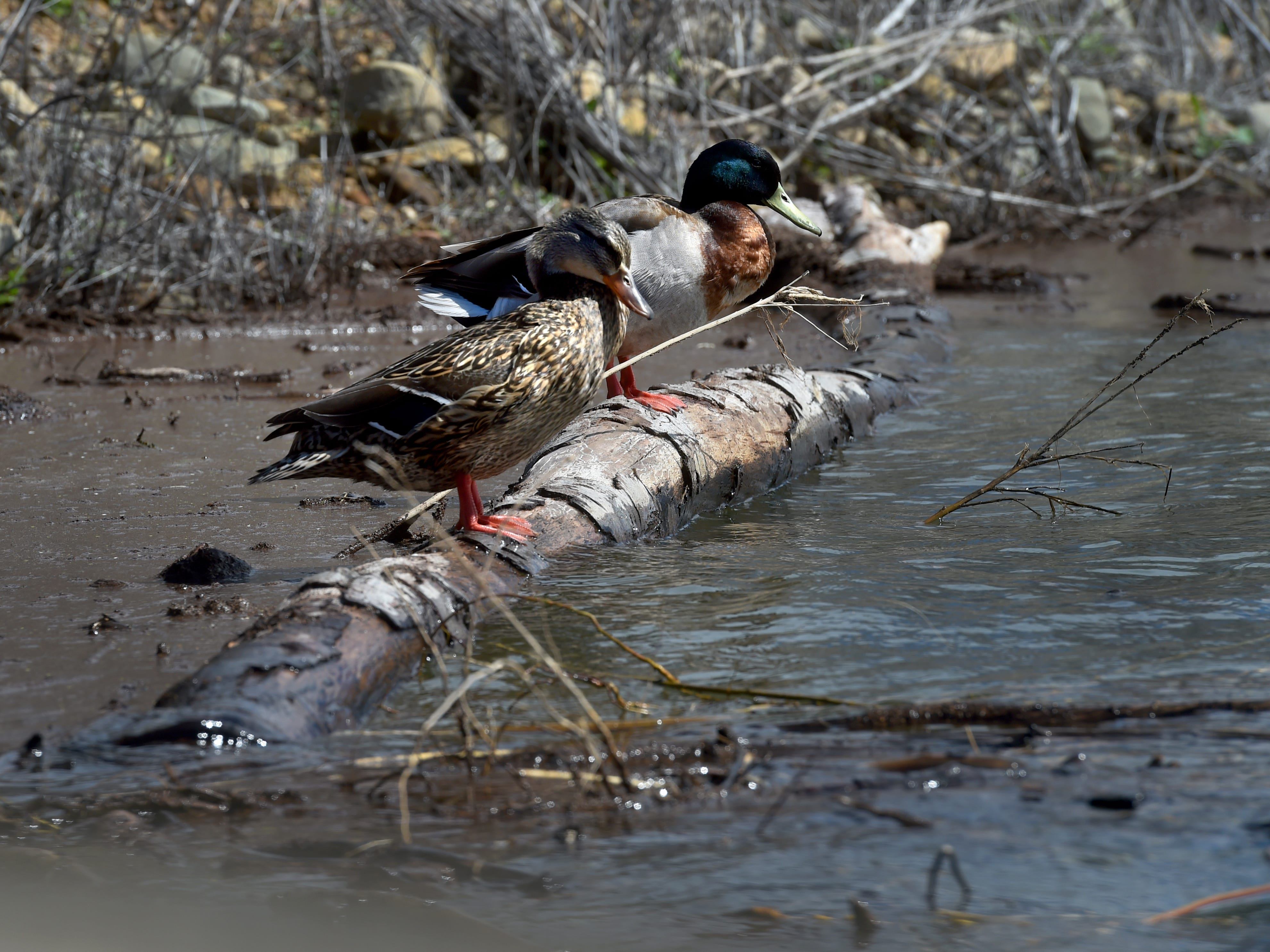 "Ducks sit on a log at Lake Casitas on Tuesday. This year's steady stream of storms boosted lake levels past the ""critical drought"" threshold."