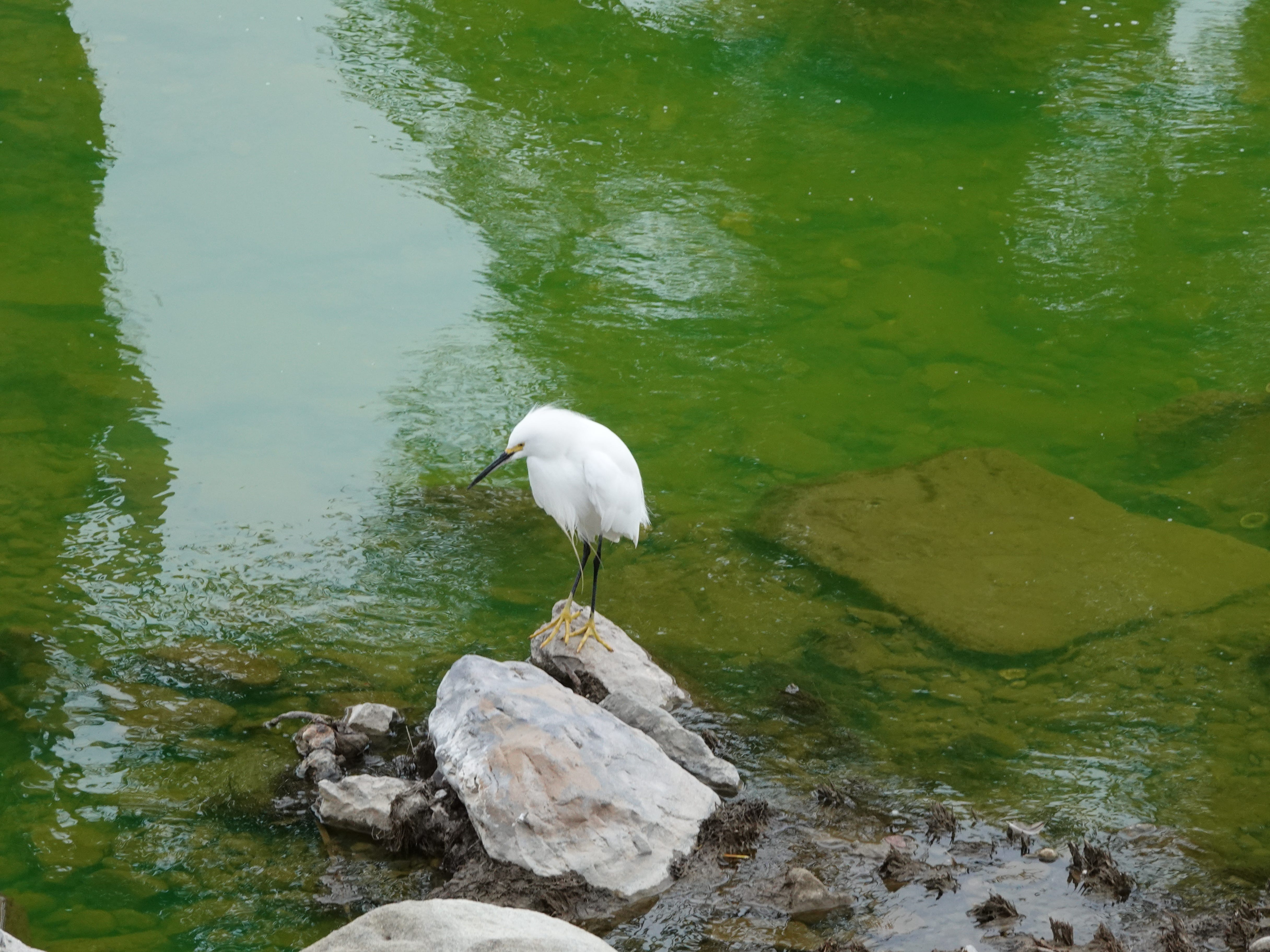 A snowy egret stands above green water in the Arroyo Simi Monday afternoon. Authorities determined a substance that spilled into the waterway was not hazardous.