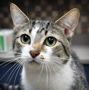 Albert is a 1 1/2- year-old, gray and white tabby, domestic short haired cat. He is sweet and affectionate. Albert would make a good lap cat and is available for adoption at the Wichita Falls Animal Services Center.